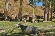 Tadżykistan - koza na polanie.