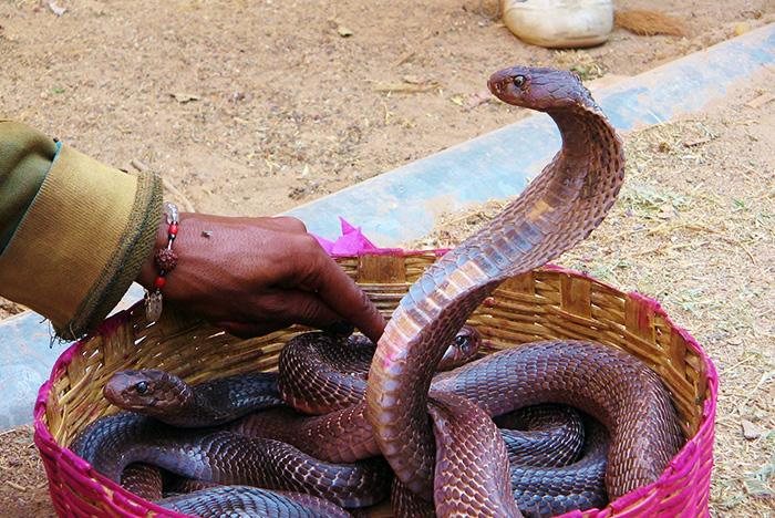Cobras in India