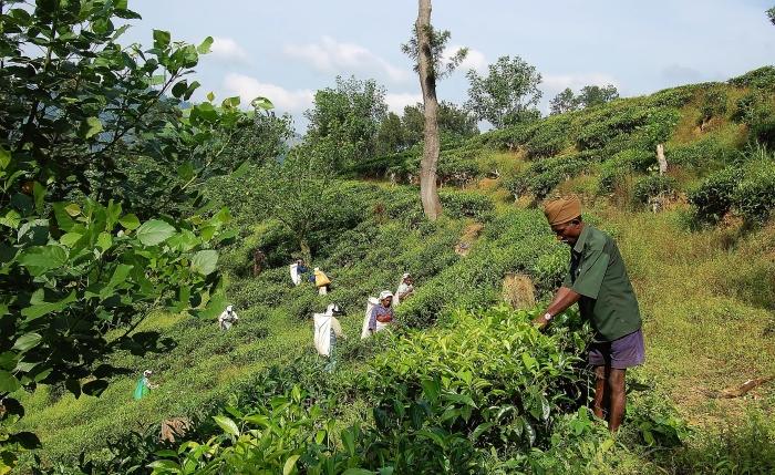 Tea fields in Sri Lanka.