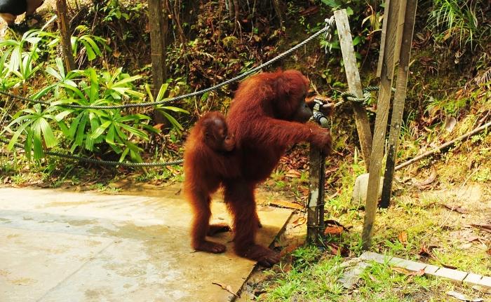 Orangutans  Semenggoh Borneo.