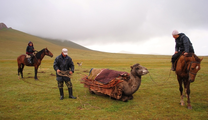 Kyrgyz people pack a dismantled yurt on a camel.