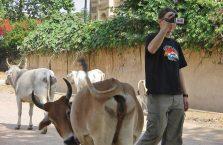 Indie - krowa w brzydkiej pozycji.