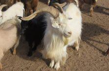 Mongolia - kozioł.