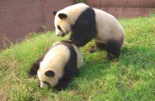 Chiny - misie panda.