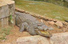 Indie - krokodyl.