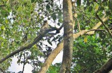 Nepal - małpa na drzewie.
