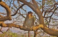 Indie - zamyślona małpa.