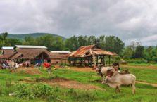 Birma - krowy.