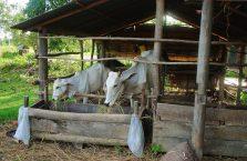 Kambodża - krowy przy posiłku.