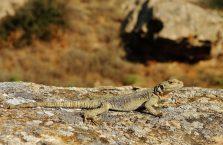 Azerbejdżan - jaszczurka.