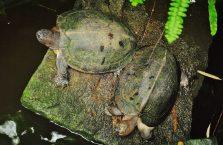Singapur - żółwie ziemnowodne.