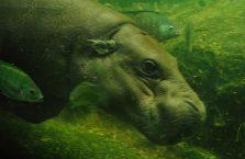 Singapur - hipopotam.