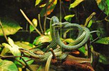 Singapur - węże.