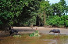 Laos - bawoły idą na kolację.