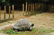 Singapur - uśmiechnięty żółw.