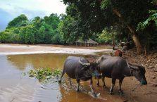 Laos - bawoły.