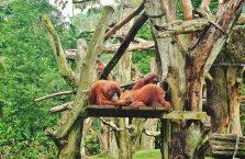 Singapur - orangutany.
