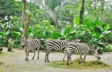 Singapur - zebry.