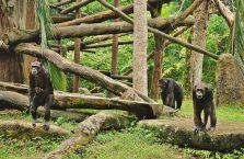 Singapur - rodzina szympansów.
