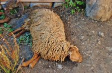 Azerbejdżan - najgorszy dzień owcy w jej całym życiu.