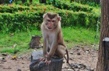 Laos - małpa.