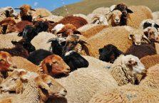 Azerbejdżan - owce.