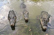 Tajlandia - krokodyle czekające na jedzenie.