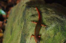 Kambodża - jaszczurka.