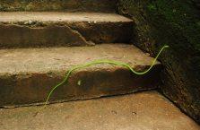 Kambodża - wąż.