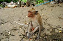 Kambodża - małpa na drodze.