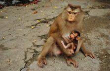 Kambodża - małpa z młodym.