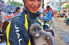 Birma - małpka domowa.