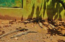 Malezja - krokodyle.