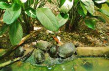 Malezja - żółwie ziemno-wodne.