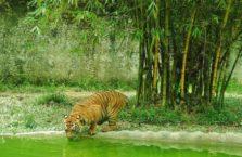 Malezja - tygrys.