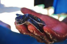 Malezja - żółw morski.