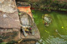 Wietnam - żółwie ziemno wodne.
