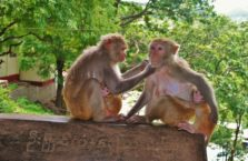 Birma - małpy.