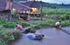 Birma - bawół podczas kąpieli.