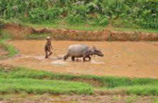 Birma - rolnik orze pole ryżowe za pomocą bawoła.