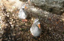 Liban - kaczki.