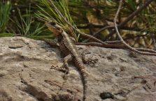 Liban - jaszczurka.