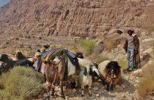 Jordania - osioł, koza i owca na górskim szlaku.