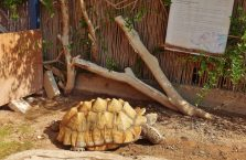 Izrael - wielki żółw stepowy.
