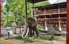 Sri Lanka - słoń w świątyni buddyjskiej.