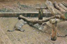 Sri Lanka - pantery w zoo w Dehiwala.