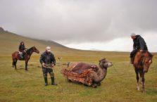 Kirgistan - Kirgizi zakładają jurtę na wielbłąda.