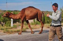 Uzbekistan - z dzikim wielbłądem, którego spotkałem jadąc przez pustynię.