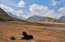Kirgistan - pies na Trasie Pamirskiej.