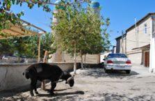 Uzbekistan - koza z dużą pupą..